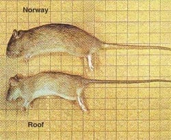 Rat Identification Pictures